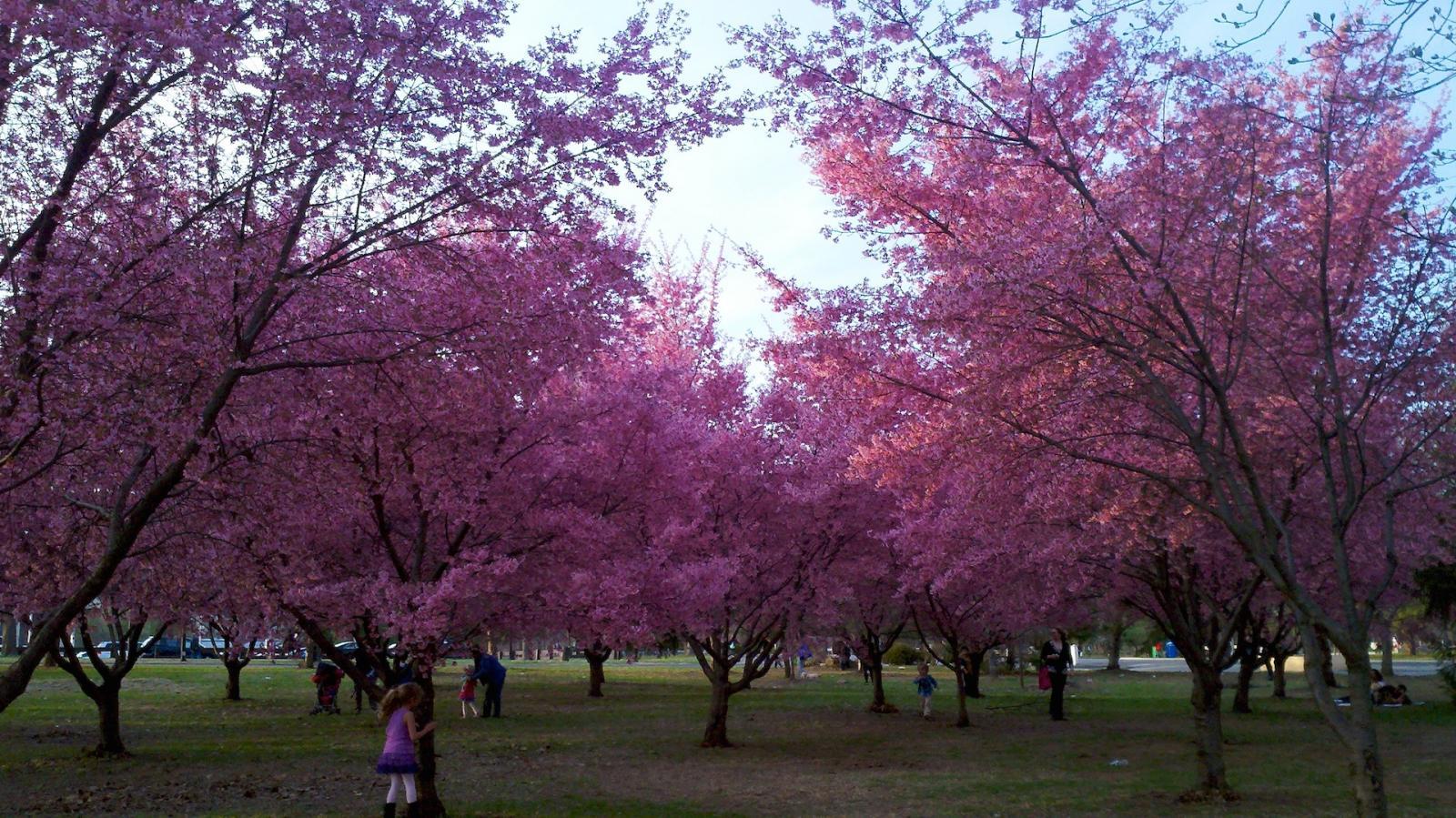 Kirschblüte im Flushing Meadow Park